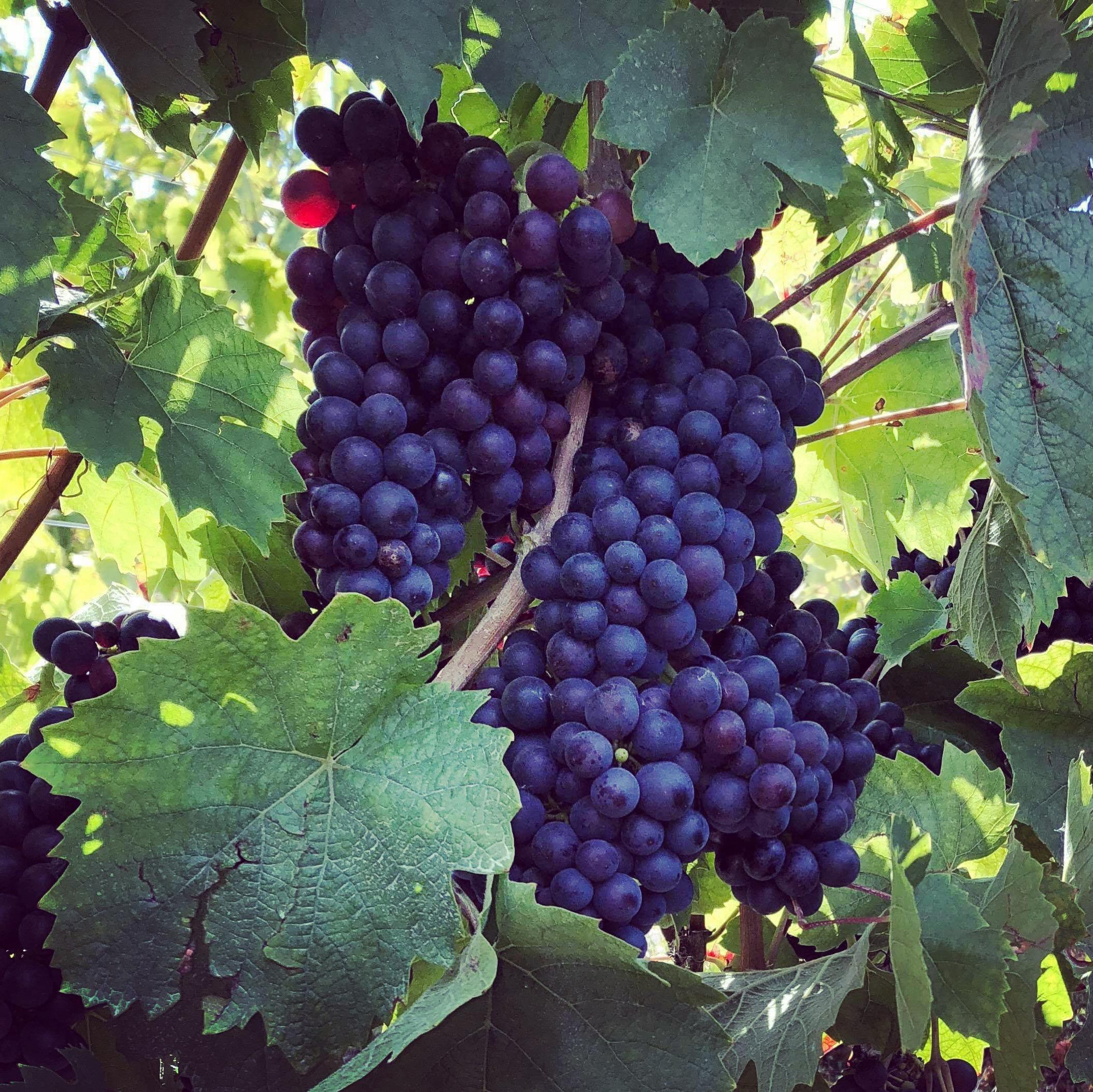 Les raisins Gamay